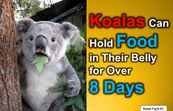 Fun Koala Facts for Kids: 10 Interesting Facts about Koala