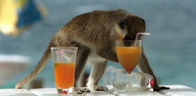 St. Kitts Drunk Monkeys