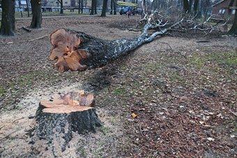 Umgesägter Baum im Kaliningrader Südpark