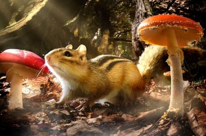 PICTURE SHOWS: Chipmunk and Toadstools in Northern Temperate Forest (composite image)
