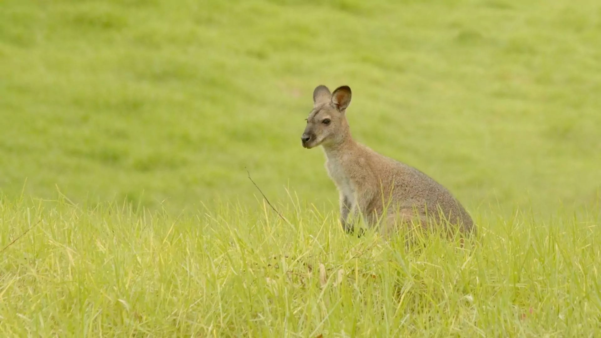 A kangaroo stops and waits in the middle of a bright, grassy field.