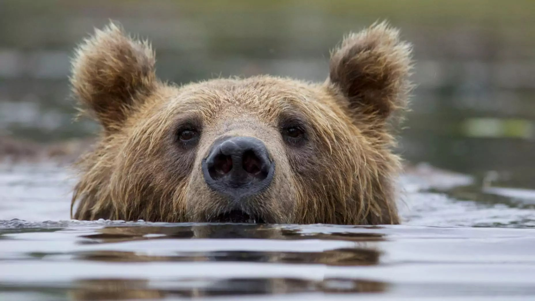 A brown bear pokes their head out from underwater.