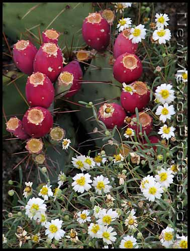 prickly pear bush c/o New Mexico Photos