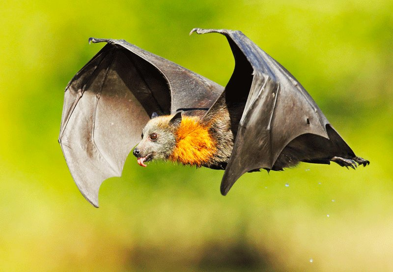 Coronavirus found in Indian bats, says ICMR study
