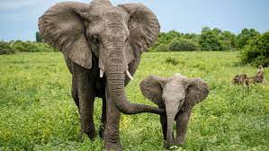 Zimbabwe can permit Shooting Some Elephants At $70,000 every to lift cash