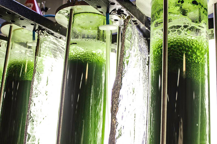 Moving Algae The Key To Renewable Oil Production Uct News