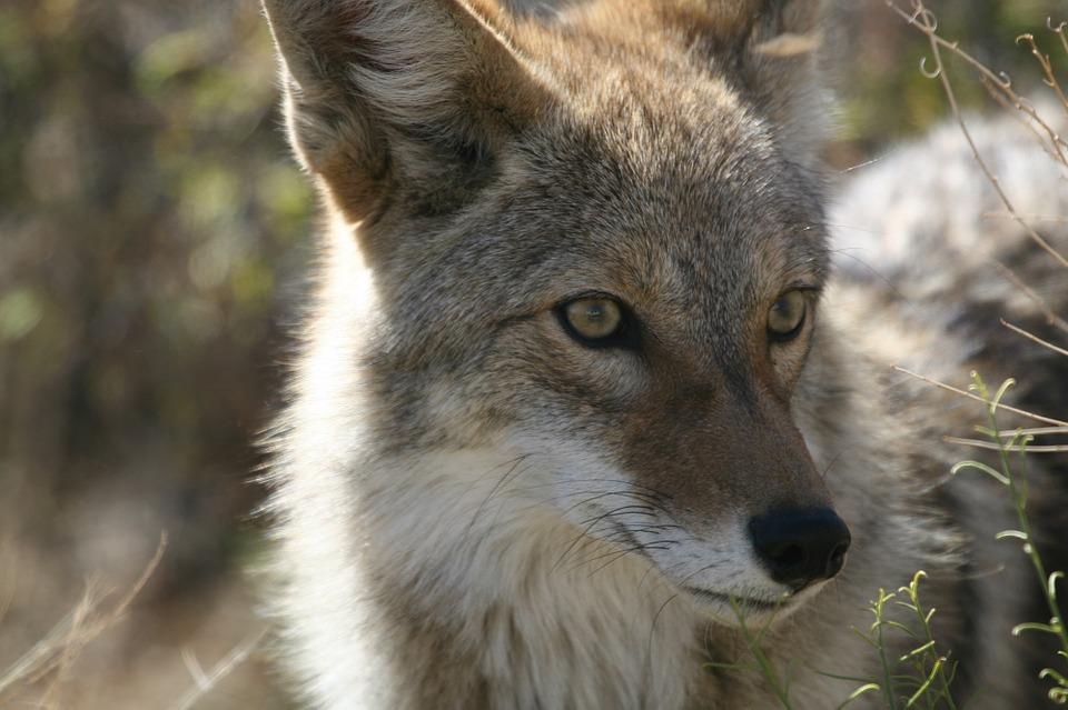 Coyote _1530631220001