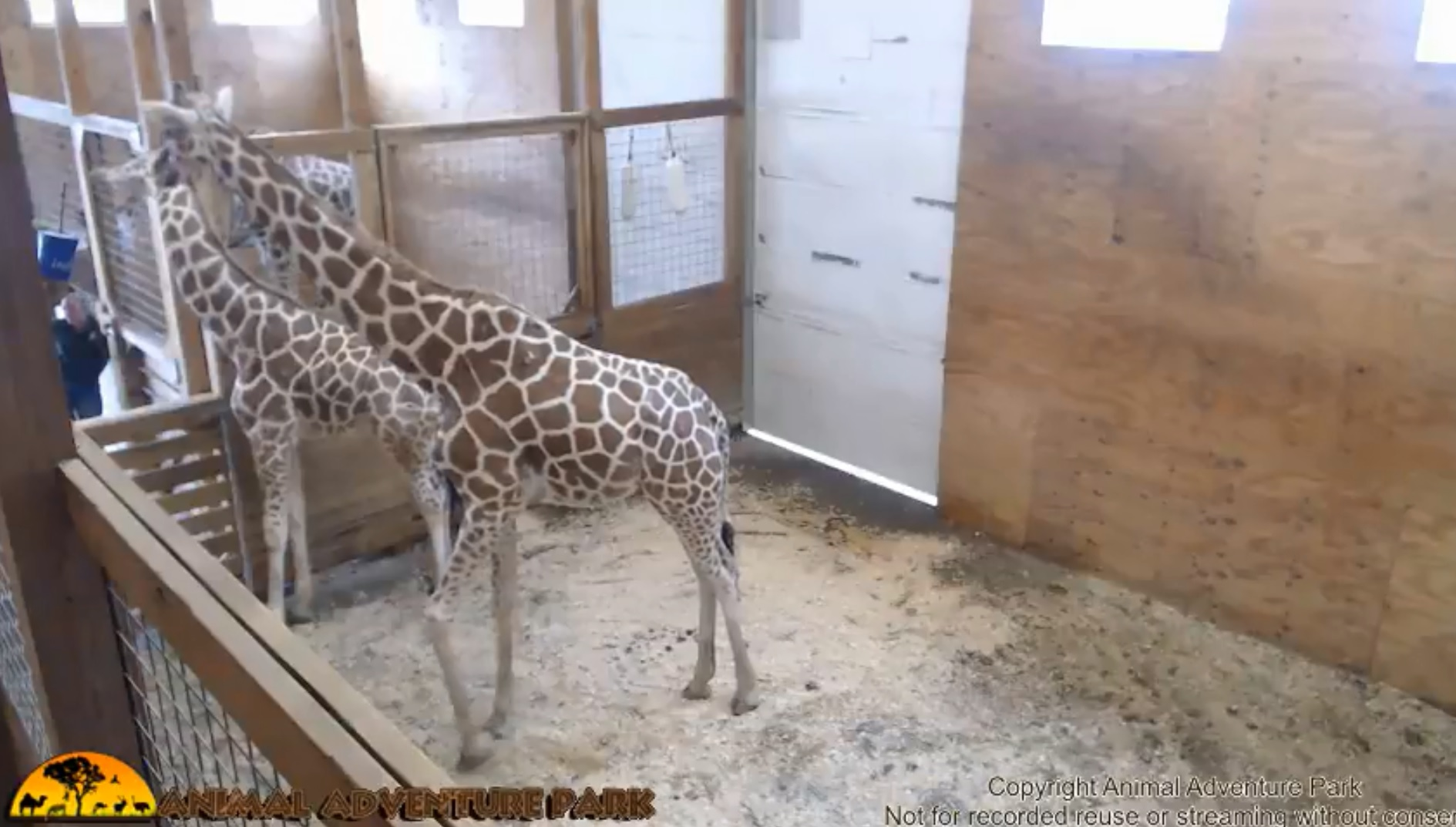Giraffe_1532522300029.jpg