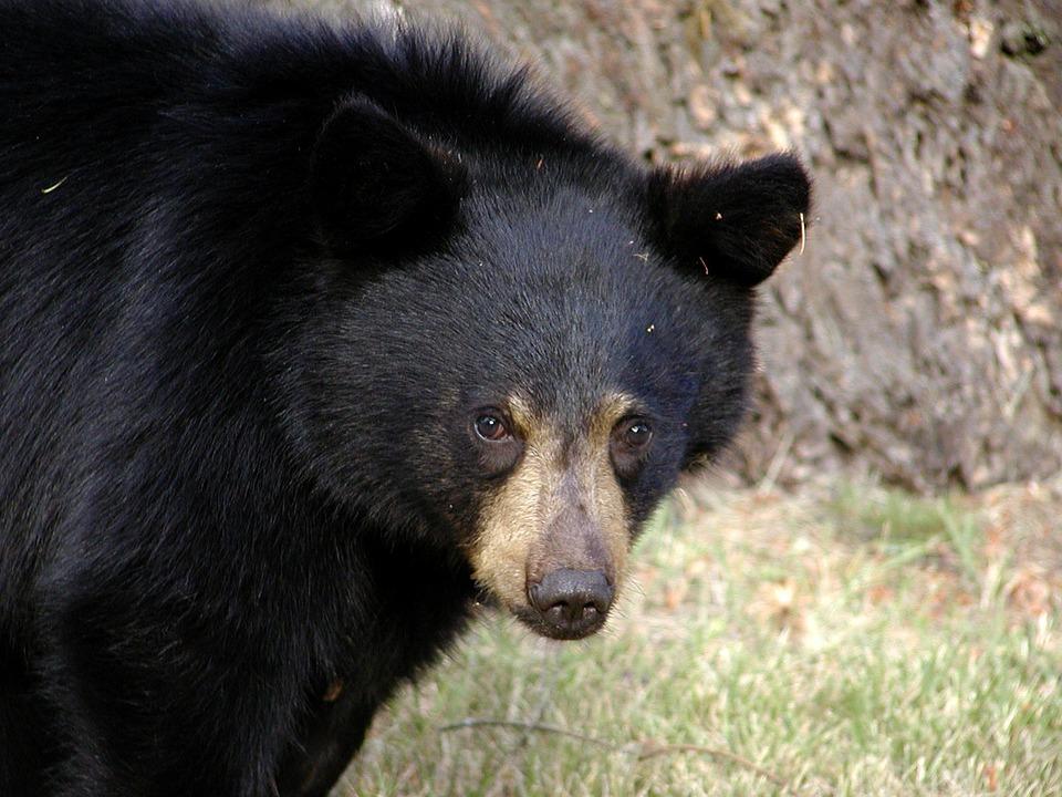 Black Bear_642629