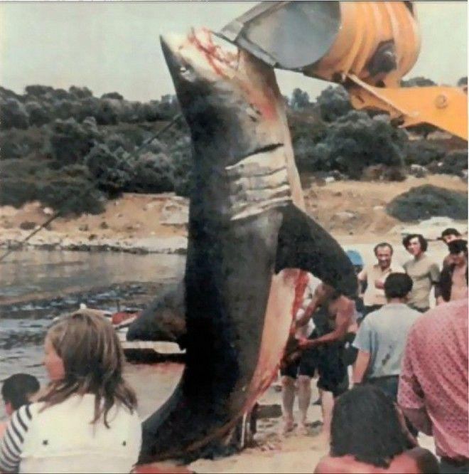 Ο μεγάλος λευκός καρχαρίας στην Ελλάδα. Όλες οι επιθέσεις και ...