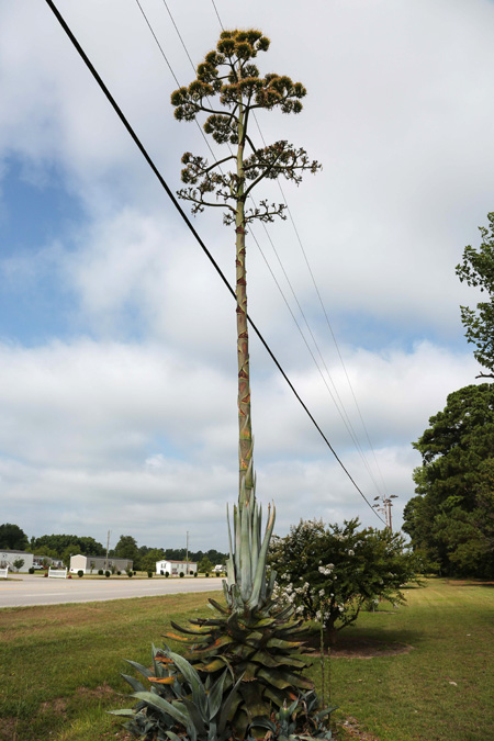 Century Plants abloom in Darlington County