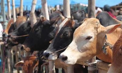 Cattle Trade Ban