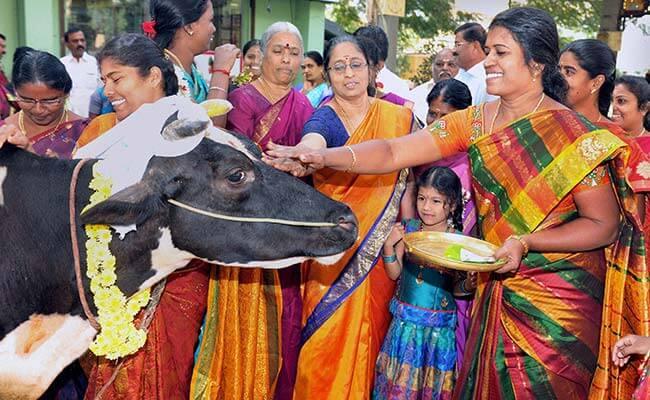 Third Day of Pongal - Maattu Pongal
