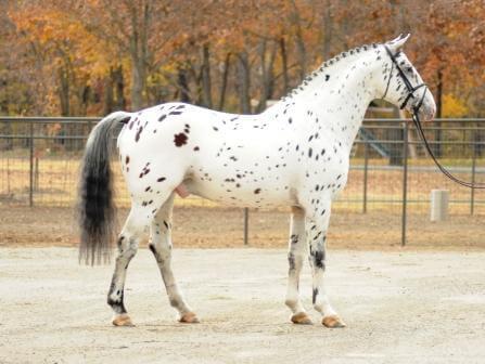 Knabstrupper Horse