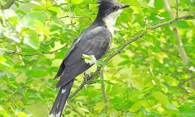 Bambiha Bird