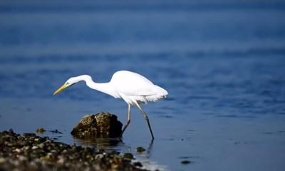 Little-Egret-bird