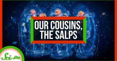 An Ode to Salps: Our Gelatinous Marine Cousins