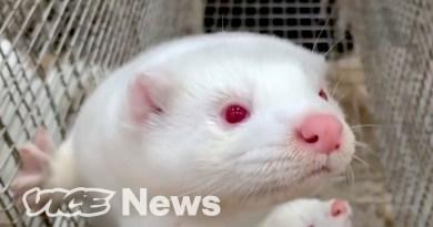 Denmark's COVID Mink Massacre May Kill the Fur Industry