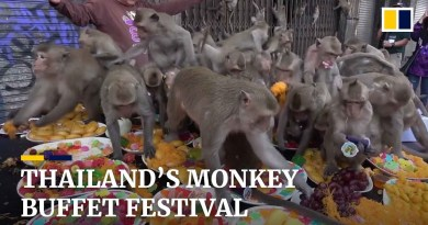 Hundreds of primates scramble for food at annual monkey festival in Thailand