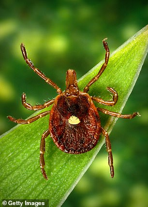 Currently, Downen says she mostly eats bananas and strawberries, and fish about twice a week. Pictured: Lone star tick