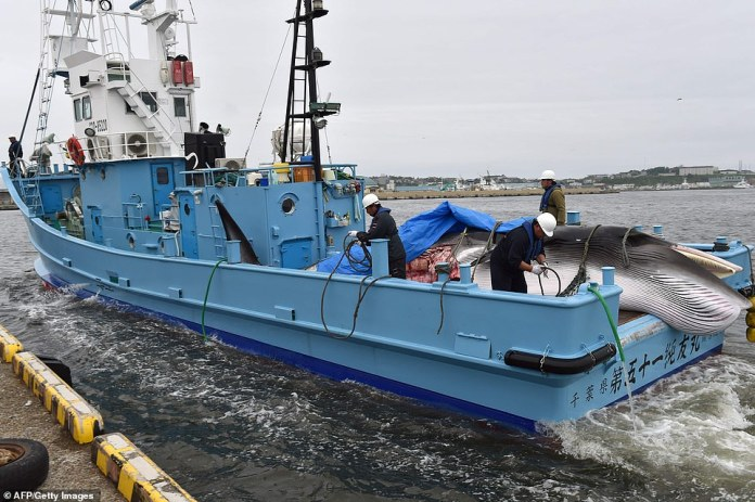 As an International Whaling Commission member, Japan was banned from commercial hunts of large whales, but having left in 2016 it is now free to carry out fishing operations