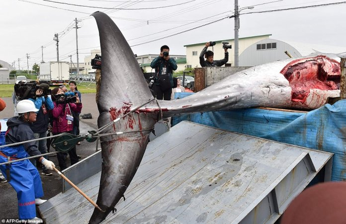 The whale is unloaded from a truck. The country's Fisheries Agency said Monday it had set a cap for a total catch of 227 whales through the season until late December
