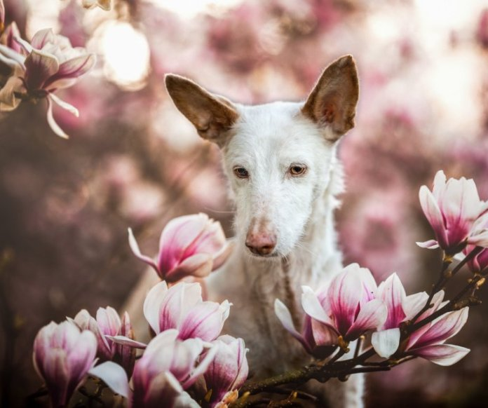 """Picture supplied by Denise Czichocki/Kennel Club/Bav Media 07976 880732. Picture by Denise Czichocki from Switzerland has been chosen as the overall winner of the competition with ?Dreaming Merlin?, which sees Merlin, the 14-year-old rescue Podengo, sat amongst a magnolia setting, which was also placed first in the ?Oldies? category. A stunning picture of a dog surrounded by magnolia has come top in the annual Dog Photographer of the Year contest. The photo of rescue dog Merlin was chosen as the overall winner in The Kennel Club's international competition, which received almost 7,000 entries from more than 70 countries. Denise Czichocki, from Switzerland, who took the photo of her 14-year-old Podengo, said: """"I am really proud and overwhelmed, I still can't believe it! There are so many good photographers out there and I won this title, it is absolutely amazing. """"I have always loved to take pictures of everything, and my passion for dog photography started when I had my own, I wanted to create lovely memories of all of them. Over the years I have developed my photography to become more emotional."""" The contest had 10 categories: Portrait, Man's Best Friend, Dogs At Play, Dogs At Work, Puppy, Oldies, I Love Dogs Because - for entrants aged between 12 and 17 years old - Young Pup Photographer - for entrants aged 11 and under - and Assistance Dogs and Rescue Dogs. SEE COPY CATCHLINE Winners of Dog Photo of Year comp"""