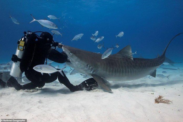 A marine biologist who pioneered a shark-proof wetsuit in the late 1970s is now so confident about the strength of his invention that he puts them to the test by thrusting his limbs into the predators' jaws (pictured)