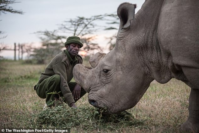 The last male of the species Sudan, pictured with head caretaker Mohammed Doyo, died last year aged 45 in Kenya after suffering from a degenerative muscle and bone condition