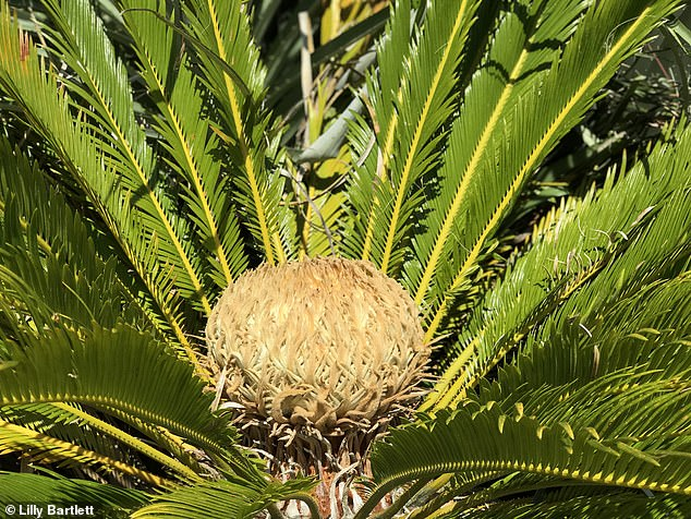 The plant, located on a cliff-edge on the Isle of Wight, is the first known example of both sexes of cyads blooming outside a greenhouse in British history. Pictured, the female cone