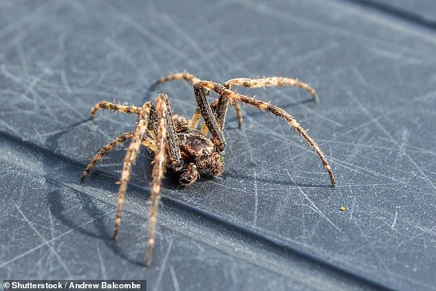 Whilst conkers may be ineffective, the professor said spiders can hear and do respond to sound and vibrations so can be scared away. There is, as of yet, no scientific proof that spiders are scared of the large seeds