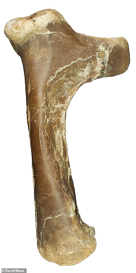 Scientists believe that because of its muscular shape it was a ground hunter who used flight to burst away from danger or to seize its prey. Above: A fossilised leg bone of theCryodrakon boreas