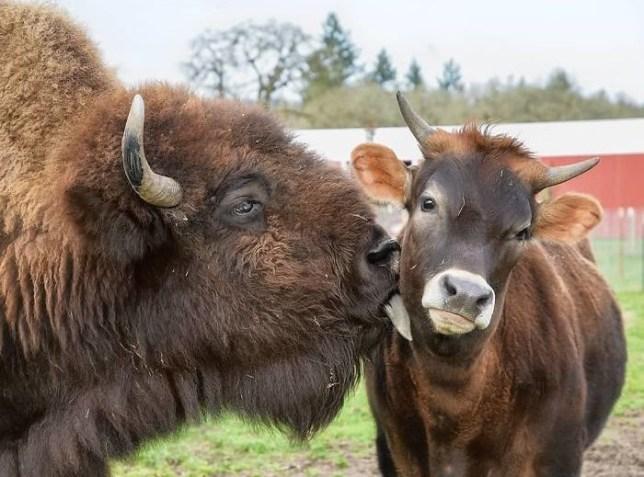 Helen, a blind bison making a new friend at Oregon's Lighthouse Farm Sanctuary
