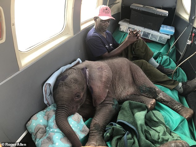 One-month-old Bumi had somehow got stuck among rocks and suffered severe sunburn before he was taken in by veteran animal rescuer Roxy Danckwerts, 53. Pictured: Bumi on board a rescue plane
