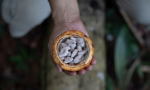Cacao seeds, which are dried and roasted to make chocolate.