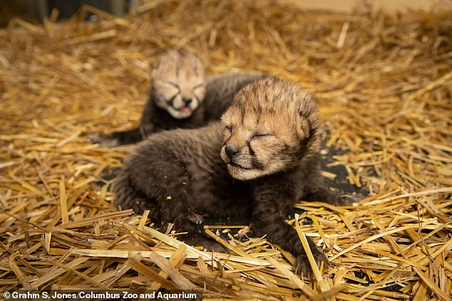 Cheetahs are in danger of extinction, but experts have demonstrated a 'scientific marvel' that could stop this tragedy from happening. Two cheetah cubs were born through in vitro fertilization and embryo transfer into a surrogate mother at the Columbus Zoo and Aquarium