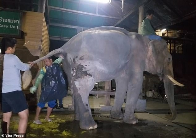 Elephant keeperKiettisak Kawekan reaches to extract vast chunks of dung from 60-year-old jumbo Boon Peng's bottom after the animal became constipated in his enclosure