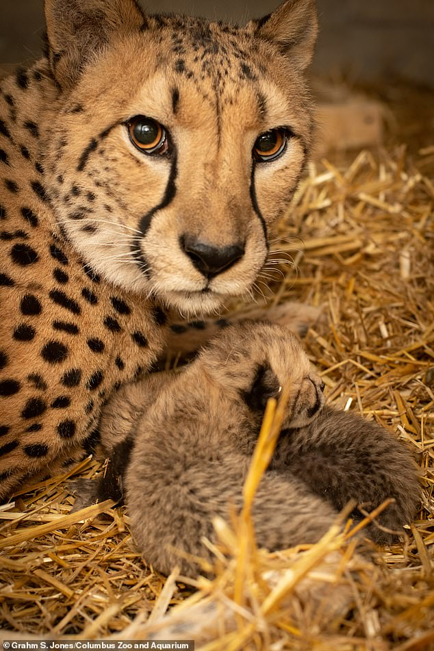 The cubs, one female and one male, were delivered on February 19th by their birth mother Isabelle (pictured)