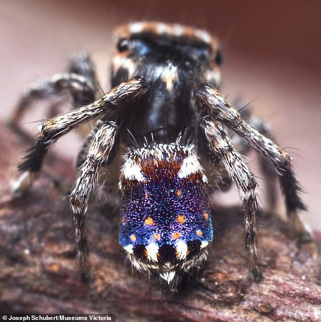 A spider that resembles Vincent van Gogh's famous 'Starry Night' painting has been discovered in Australia. This male, named Maratus constellatus, is no more than four millimeters in length and was spotted in the Little Desert National Park