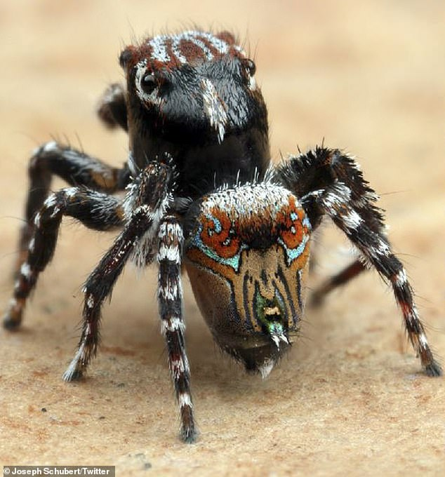 'These little guys are completely harmless,'spider taxonomist Joseph Schubert said. Pictured is theMaratus aquilus, named for its eagle like markings on the abdomen