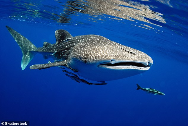 The nearly 60-foot-long whale shark doesn't generally pose a threat to humans. The species is described as endangered with populations decreasing still