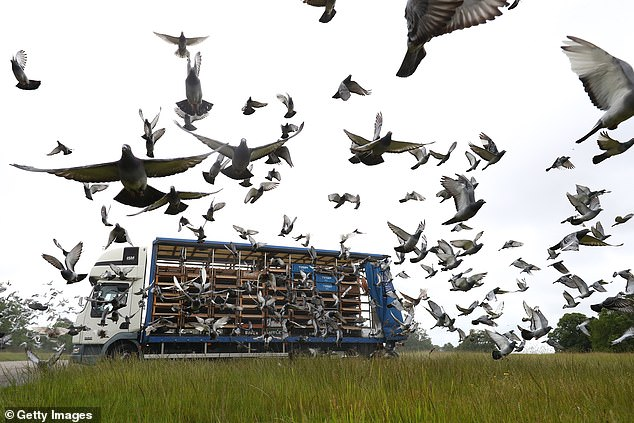 An autopsy has already revealed one of the dead pigeons had a motoring fluid known as AdBlue in its gut. Club des Internationaux Français has now withdrawn all its 2,000 entries from the Barcelona 2020 race (stock image)