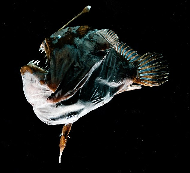Eat your heart out John and Yoko: A female specimen of the deep-sea anglerfish species Melanocetus johnsonii of about 3 inches (75mm) in size with a one inch (23.5mm) male fused on her belly