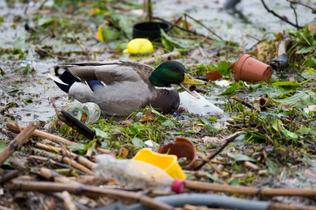 A mallard duck seen among plastic in polluted water in Cardiff Bay (Photo by Matthew Horwood/Getty Images)
