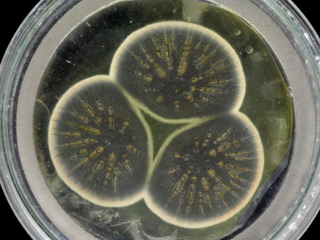 Mould regrown from Fleming's frozen sample. (Credits: CABI / SWNS)