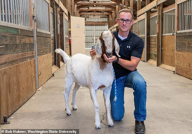 Washington State University reproductive biologist Jon Oatley feeds a goat 'surrogate sire'