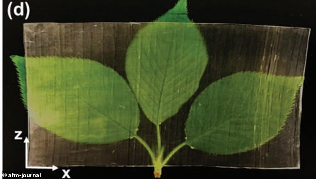 'Switching to transparent wood could prove to be cost efficient as well,' researchers shared in a statement. 'It is approximately five times more thermally efficient than glass, cutting energy costs'