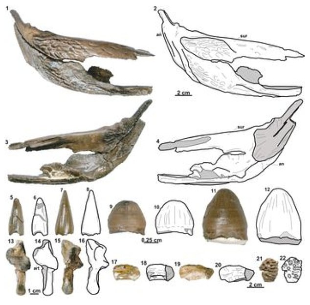 More images from the research paper. Images one to four show the right suprangular (jaw bone) five to 12 show teeth, 13 to 16 show joints, 17 to 20vertebrae and 21 to 22osteoderm - scaly deposits