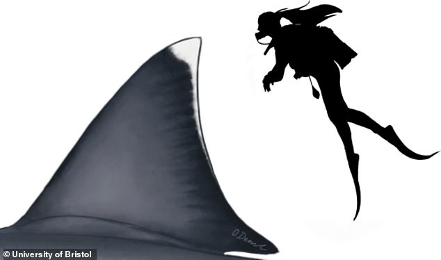 An average sized adult human could stand on the back of the shark and just manage to peer over the top of the dorsal fin. The shark was a 'true outlier' in terms of its size as practically all other sharks that don't feed on plankton have a general size limit of 23 feet, explained Shimado