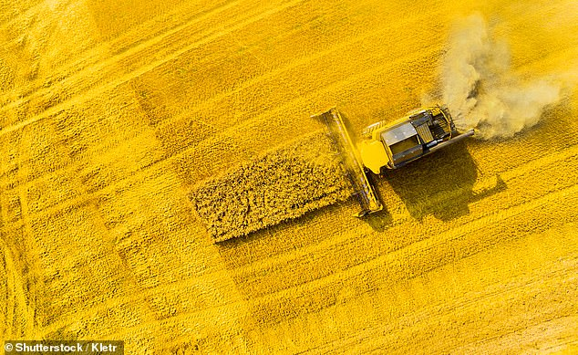 Researchers from Germany found that rapeseed, pictured being harvested, which is a member of the cabbage family, was just as nutritious as soy but left people feeling satiated for longer